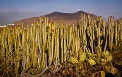 Cactus delle isole Canarie Fotografia Stock