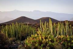 Cactus delle isole Canarie immagine stock libera da diritti