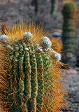Cactus in Desert Royalty Free Stock Photo