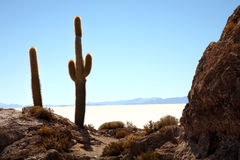 Cactus in the desert Royalty Free Stock Image