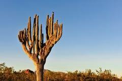 Cactus in desert Stock Photography