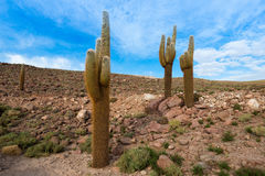 Cactus in the desert. Cactus in the Atacama Desert, northern Chile Stock Photo