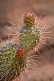 Cactus in Desert with Blossom Bud Royalty Free Stock Images