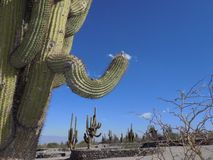 Cactus in the desert royalty free stock photography