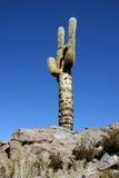 Cactus in desert, Chile Stock Photos