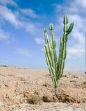 Cactus at desert. Close up of cactus at desert Stock Photography