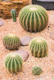 Cactus in desert garden, Thailand Stock Photo