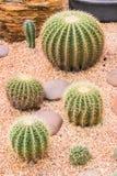 Cactus in desert garden, Thailand Stock Photo