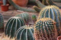 Cactus in desert landscaping. Cactus in desert drought resistant landscaping Stock Photography