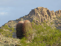 Cactus at the desert. With mountain on the background Royalty Free Stock Image