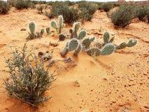 Cactus in desert, Navajo, Arizona. Cactus and shrub brush in desert on Navajo Land, Arizona Stock Photo