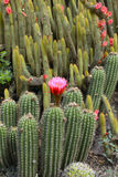 Cactus desert plant with blossoming red flowers. Closeup Stock Images