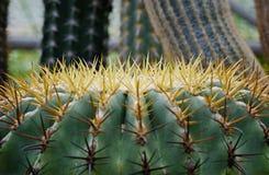 Cactus. Desert plant in close-up,select focus stock photos