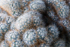 Cactus desert plant,Close up of small cactus in the pots, Little Stock Photos