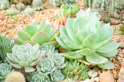 Cactus desert plant. Cactus desert plant in the garden Royalty Free Stock Photography