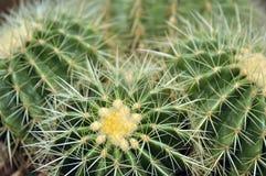 Cactus, desert plants, beautiful shape. Cactus, desert plants, beautiful shape Royalty Free Stock Photo