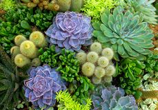 Free Cactus Desert Plants In Planting Field. Stock Photo - 121614470