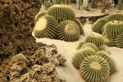 Cactus and desert's rose. Group of cactus and desert's rose in interior view royalty free stock photos