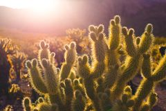 Cactus in desert at sunset Stock Image