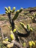 Cactus in dessert Stock Afbeeldingen