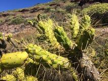 Cactus in dessert Royalty-vrije Stock Foto's