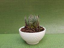 cactus di aristata dell'aloe, in piccolo vaso bianco per la decorazione, con fondo verde Immagine Stock Libera da Diritti