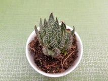 cactus di aristata dell'aloe, in piccolo vaso bianco per la decorazione, con fondo verde Immagini Stock