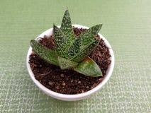 cactus di aristata dell'aloe, in piccolo vaso bianco per la decorazione, con fondo verde Fotografie Stock