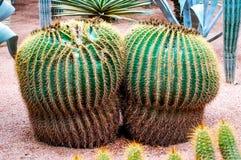 Cactus di barilotto Fotografie Stock Libere da Diritti