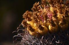 Cactus di barilotto Immagine Stock Libera da Diritti
