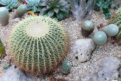 Cactus di barilotto 2 Immagini Stock Libere da Diritti