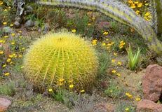 Cactus di barilotto Immagini Stock Libere da Diritti