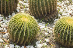 Cactus di barilotto che cresce in ghiaia fotografia stock