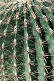 Cactus di barilotto del Fish-hook Immagine Stock