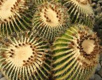 Cactus di barilotto dorato Fotografia Stock Libera da Diritti