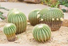 Cactus di barilotto dorato. Immagine Stock Libera da Diritti