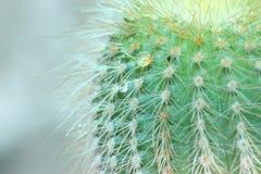 Cactus di barilotto dorato Fotografia Stock