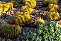 Cactus di barilotto dorato con luce solare immagine stock