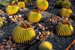 Cactus di barilotto dorato con luce solare fotografie stock libere da diritti