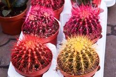 Cactus di barilotto dorato, pianta di Echinocactus Grusonii fotografia stock libera da diritti