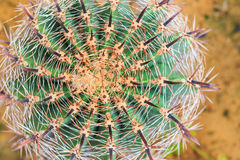 Cactus di barilotto dorato in un giardino del cactus Fotografia Stock