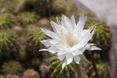 Cactus di bianco del fiore Immagine Stock Libera da Diritti