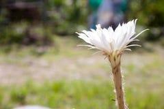 Cactus di bianco del fiore Immagine Stock