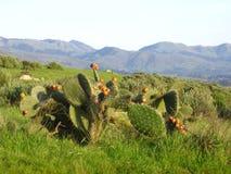 Cactus di California Fotografia Stock Libera da Diritti