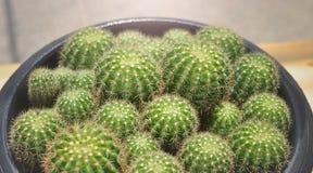 Cactus di calochlora di Echinopsis del primo piano Immagine Stock