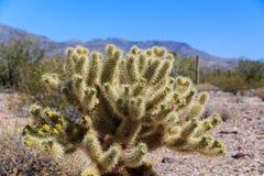 Cactus di cholla di Teddy Bear vicino al picco dell'avvoltoio, Wickenburg, Arizona Immagini Stock
