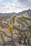 Cactus di Cholla in fioritura Fotografia Stock