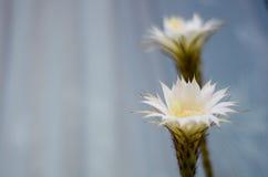 Cactus di Echinopsis Subdenudata Fotografie Stock