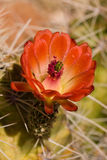 Cactus di fioritura fotografie stock