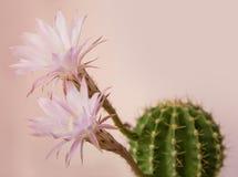 Cactus di fioritura Fotografia Stock
